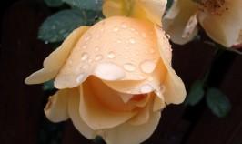 aus ihrer Blumenseele glüht;