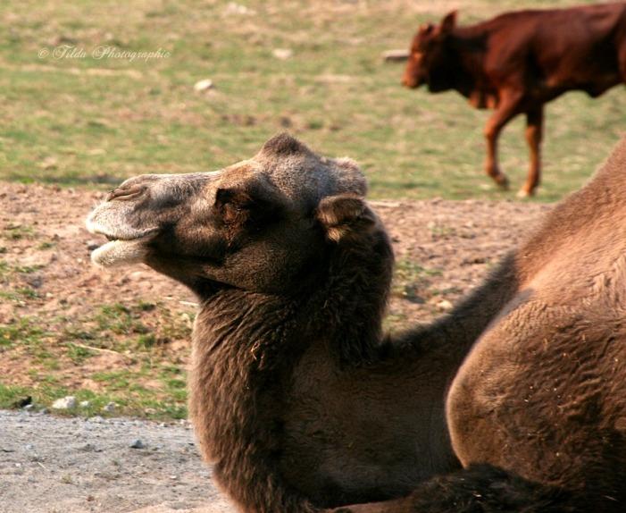 Bitte hinten anstellen, es sind noch Kamel-naten oder waren es Kemenaten? frei!